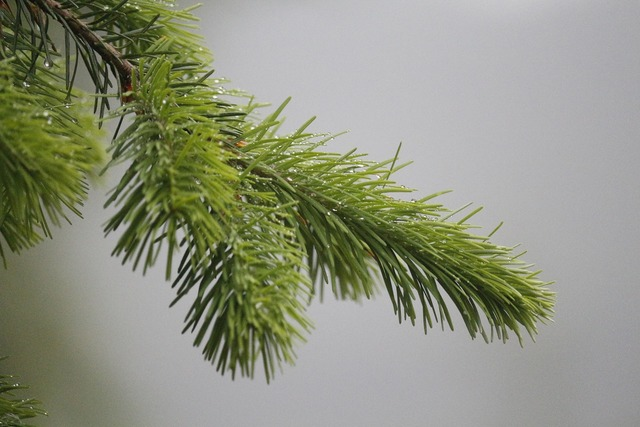 Pine needles fir tannenzweig, nature landscapes.