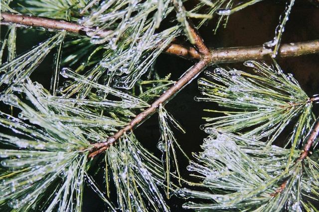 Pine needles ice iced.