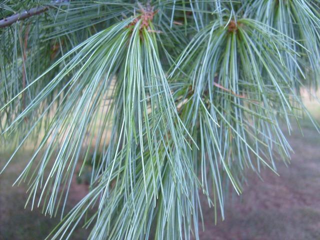 Pine needles tree, nature landscapes.