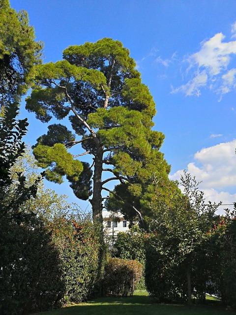 Pine tree trees tall trees.