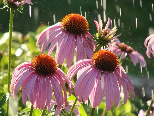 Pink coneflower floral plants.