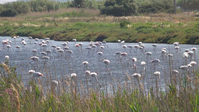 Pink flamingo summer marsh.