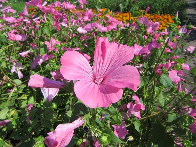 Pink flower bloom flowers, nature landscapes.
