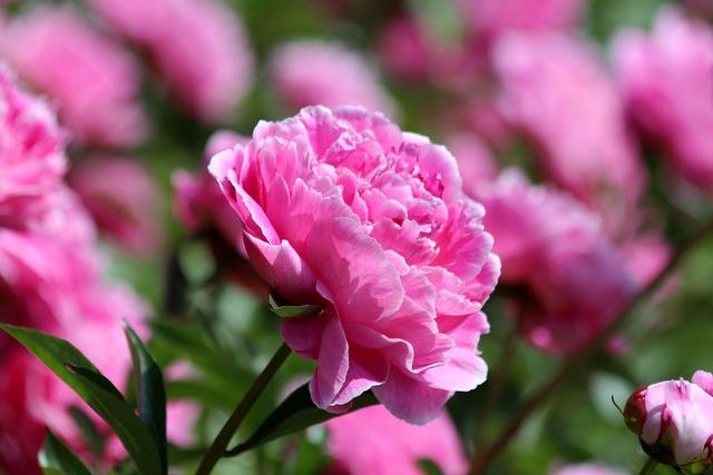 Pink peony peony flower peony, nature landscapes.