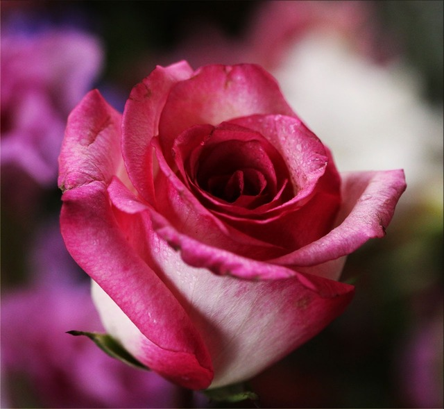 Pink rose rose flower, emotions.