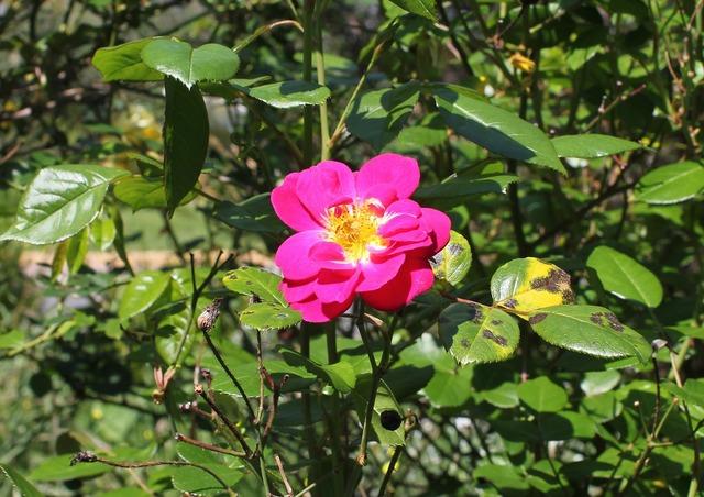 Pink rose wild rose rose.
