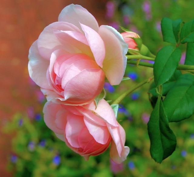 Pink roses bloom flowers, emotions.