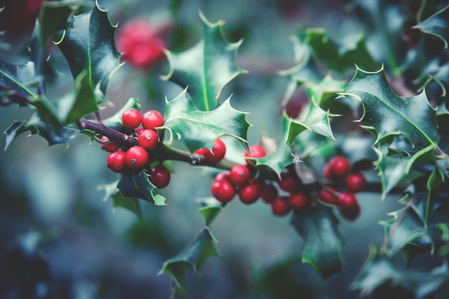 Plant berry berry red, nature landscapes.