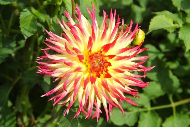 Plant flower dahlia, nature landscapes.