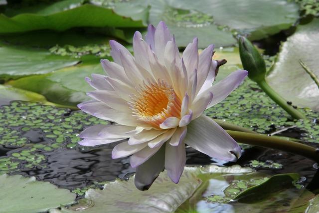 Plant flowers lotus, nature landscapes.