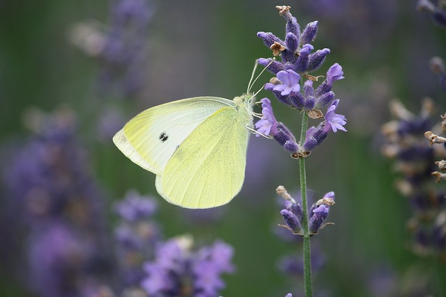Plant lavender flowers summer, nature landscapes.