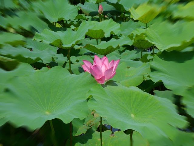 Plant lotus natural, nature landscapes.