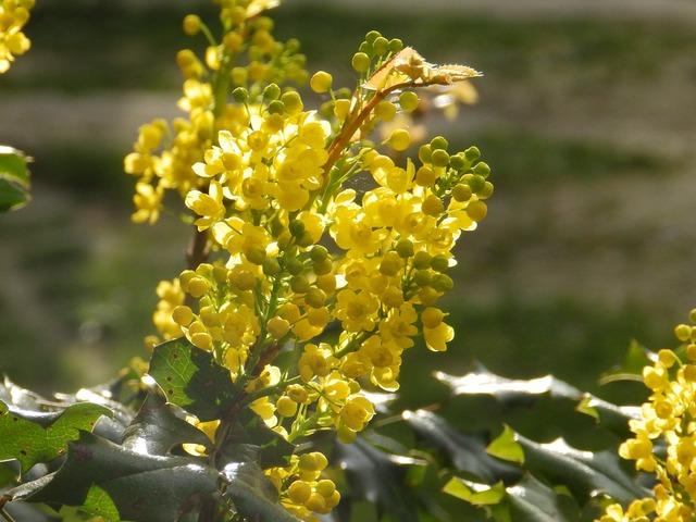 Plant mahonia flower, nature landscapes.