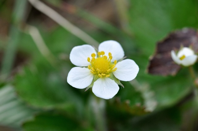Plant wood strawberry blossom, nature landscapes.