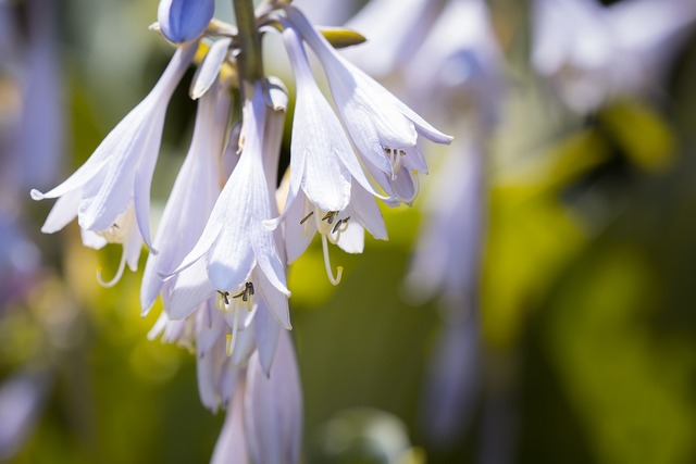 Plantain lily sweetheart lily hosta, nature landscapes.