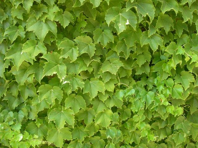 Plants texture foliage, backgrounds textures.