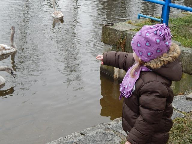 Pleasure feeding swans, people.