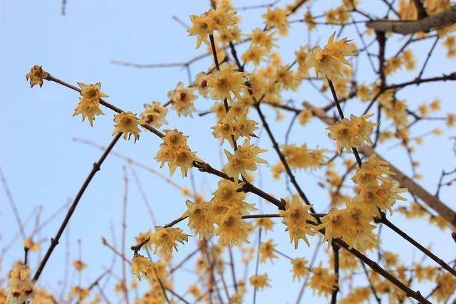 Plum blossom spring germination.