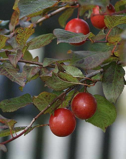 Plum fruit mature, food drink.