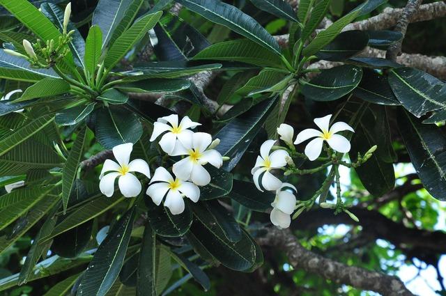 Plumeria plant flowers, nature landscapes.