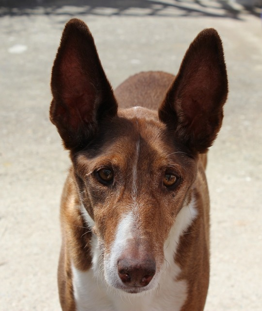 Podenco dog hunter, animals.