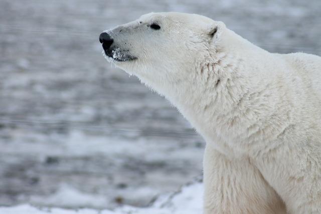 Polar bear bear wild, animals.