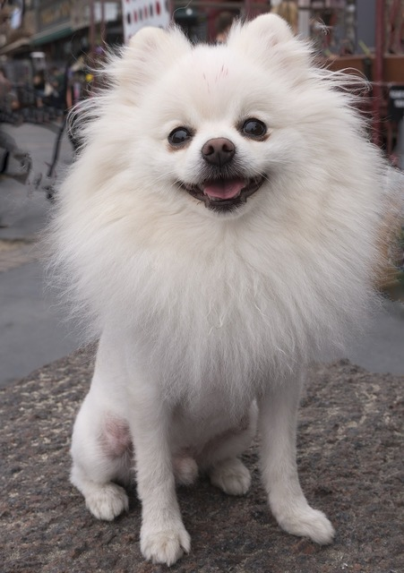 Pomeranian dog spitz, animals.