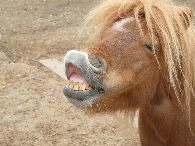 Pony horse making a face.