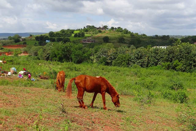 Pony pack animal lambadi.