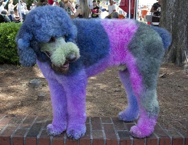 Poodle dyed dog, animals.