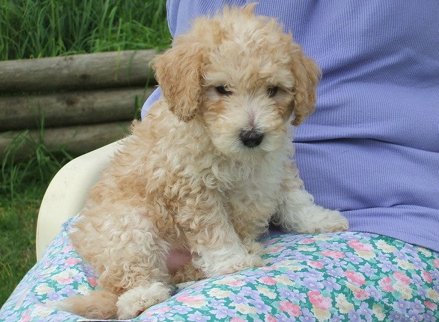 Poodle puppy cute, animals.