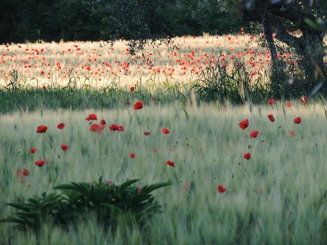 Poppies field flowers.