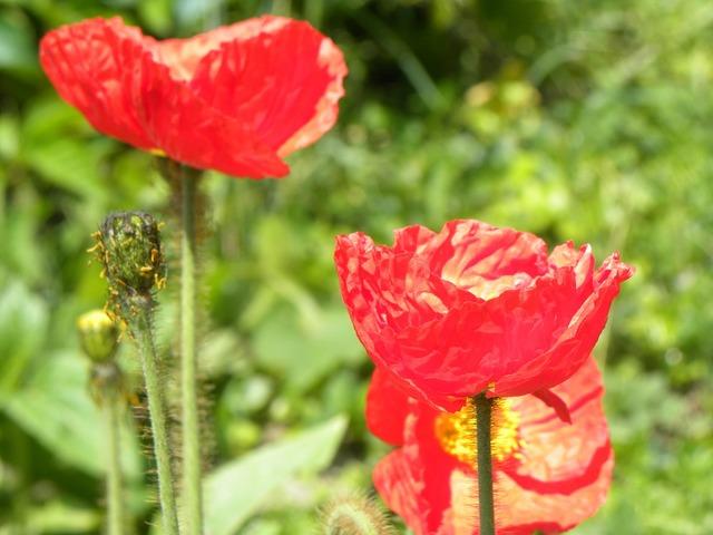 Poppies field summer.