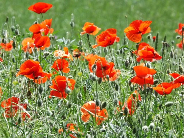 Poppies flowers blossom.