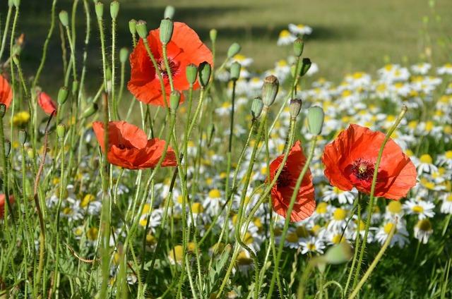 Poppies wild summer flowers.