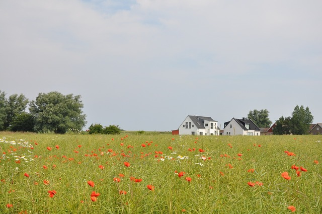 Poppy bed countryside.