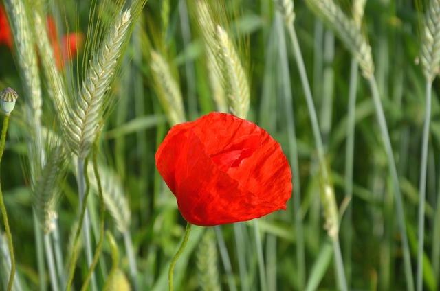 Poppy cornfield summer.