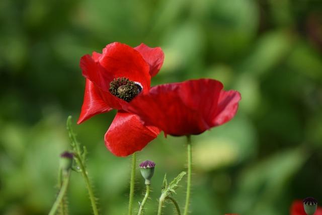 Poppy poppy flower summer.