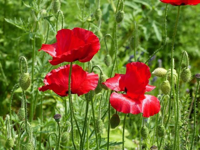 Poppy red green.
