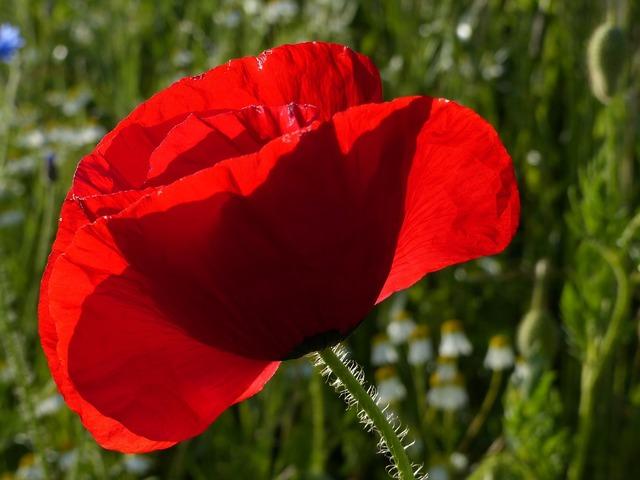 Poppy red red poppy.