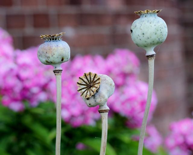 Poppy seedhead papaver.