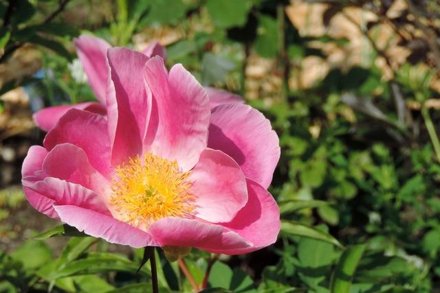 Potato rose japan rose apple rose.