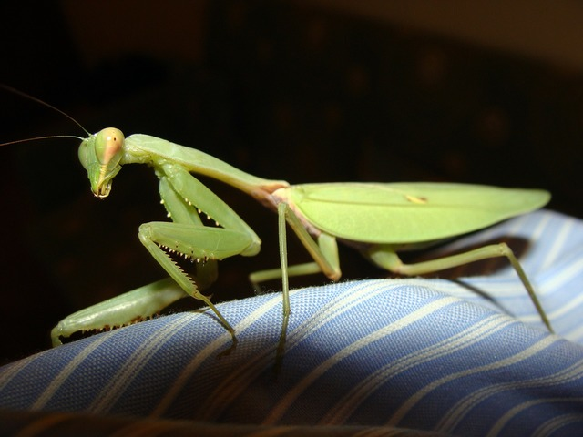 Praying mantis mantids, animals.