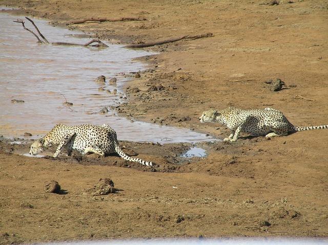 Predator cheetah animal world, animals.