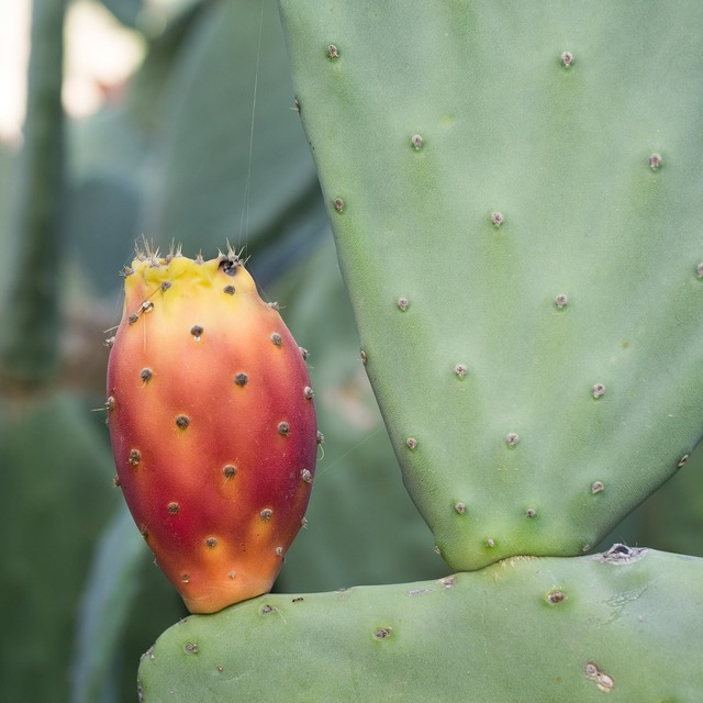 Prickly pear cactus cactus greenhouse, nature landscapes.