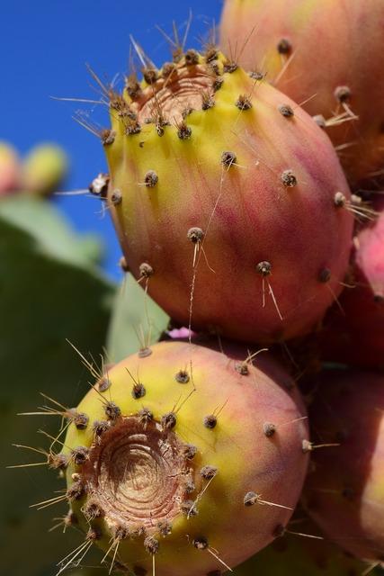 Prickly pear fruit cactus, food drink.