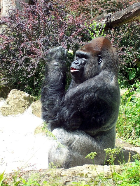 Primate gorilla ape, nature landscapes.