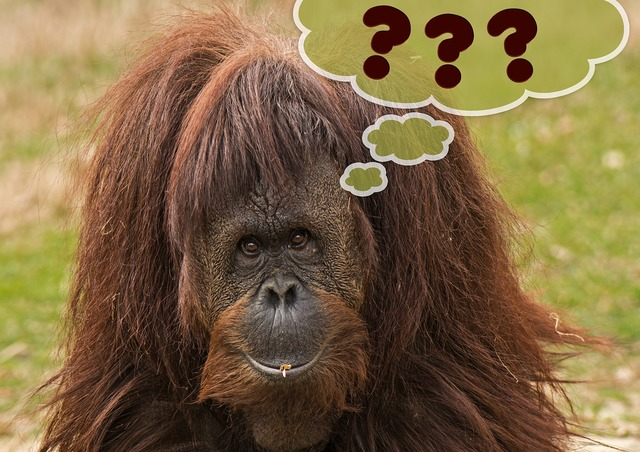 Primate monkey orang utan.
