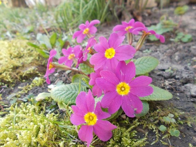 Primula wildflowers flowers.