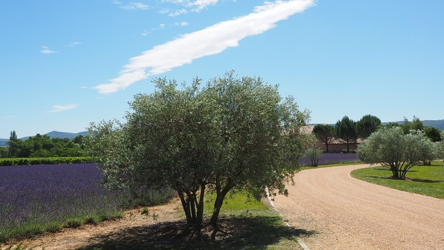 Property way olive trees.